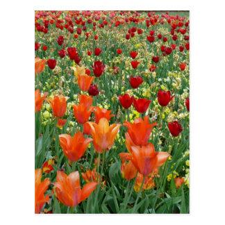 Tulipanes anaranjados y rojos postales