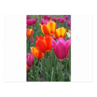 Tulipanes anaranjados y rosados postales