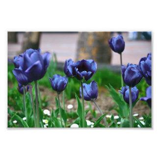 Tulipanes azules fotos
