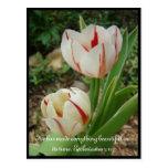 Tulipanes blancos y rojos tarjetas postales