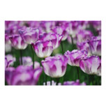 Tulipanes blancos y violetas poster