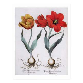 Tulipanes: colore del cinnabrio del serotina del g postales