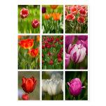 Tulipanes coloridos postal