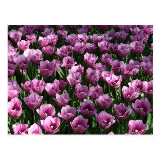 Tulipanes de la lila tarjetas postales
