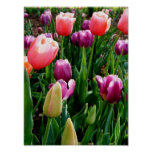 Tulipanes de la primavera impresiones