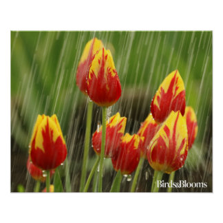 Tulipanes de la primavera póster