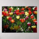 Tulipanes de la primavera posters
