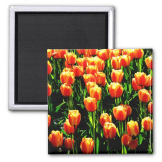 Tulipanes de la sol imanes