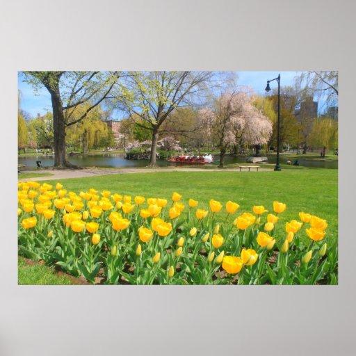 Tulipanes del amarillo del jardín público de Bosto Posters