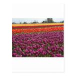 Tulipanes del arco iris tarjetas postales