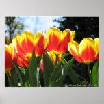 Tulipanes del estado de Mount Vernon Poster
