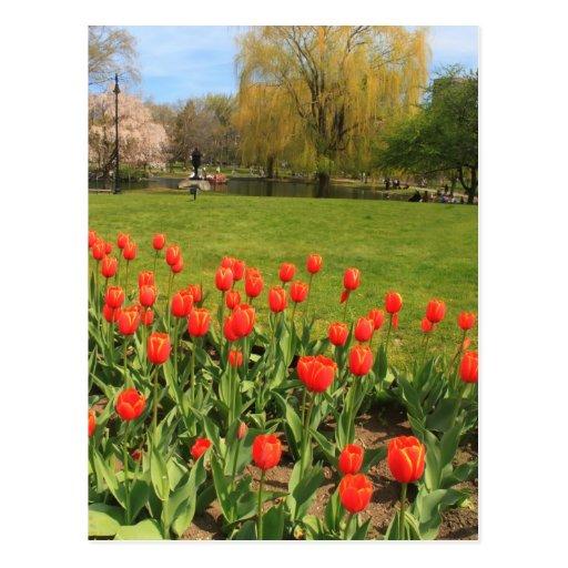 Tulipanes del jardín público de Boston Tarjeta Postal