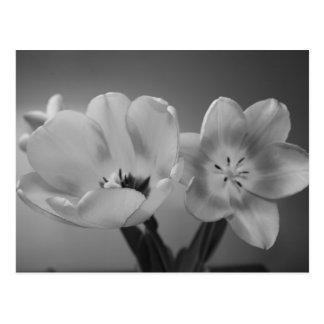 Tulipanes dobles del placer en postal monocromátic