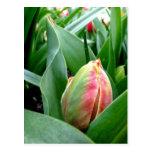 Tulipanes el dormir postal