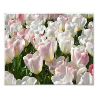 """Tulipanes en la floración 10"""" x 8"""" impresión de la impresiones fotograficas"""
