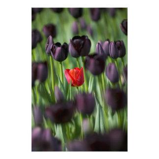 Tulipanes en los jardines de Keukenhof, Amsterdam, Cojinete