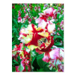 Tulipanes especiales - postal