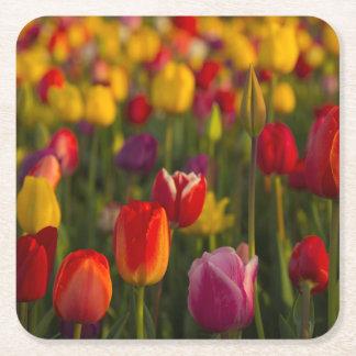 Tulipanes, festival del tulipán, Woodburn, Oregon, Posavasos Desechable Cuadrado