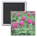 Tulipanes - floración donde le plantan imanes de nevera