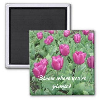 Tulipanes - floración donde le plantan imán cuadrado