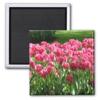 Tulipanes holandeses imán cuadrado