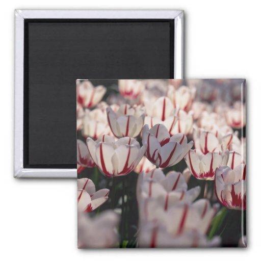Tulipanes Imanes De Nevera