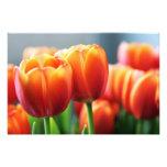 Tulipanes Impresiones Fotográficas
