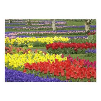 Tulipanes, jacinto de uva, y narcisos, 2 fotografías