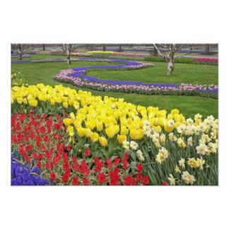 Tulipanes, jacinto de uva, y narcisos, cojinete