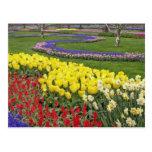 Tulipanes, jacinto de uva, y narcisos, postal