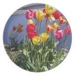 Tulipanes multicolores CAM00235.jpg Plato De Comida