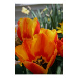 ¡Tulipanes, naranja brillante! Poster