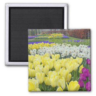 Tulipanes, narcisos, y flores del jacinto de uva, imán cuadrado