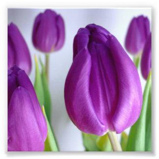 Tulipanes púrpuras fotografía
