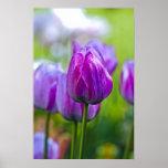 Tulipanes púrpuras poster