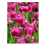 Tulipanes púrpuras tarjeta postal