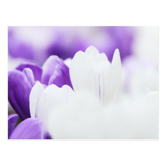 Tulipanes púrpuras y blancos bonitos tarjetas postales