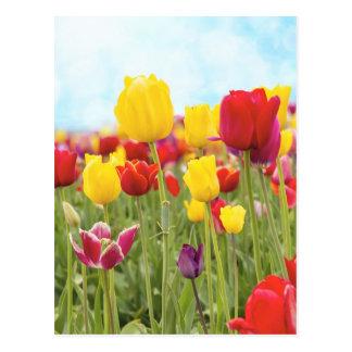 Tulipanes que florecen en postal de la primavera