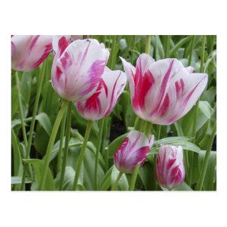 Tulipanes rayados de la hierbabuena postal