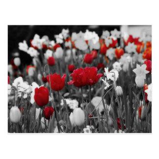 Tulipanes rojos contra blanco y negro postales
