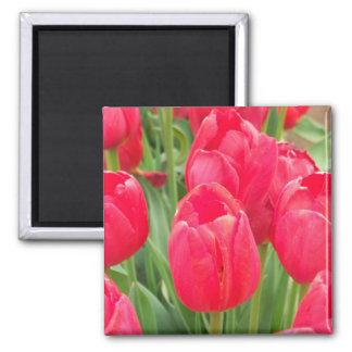 Tulipanes rojos imán cuadrado