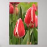 Tulipanes rojos poster