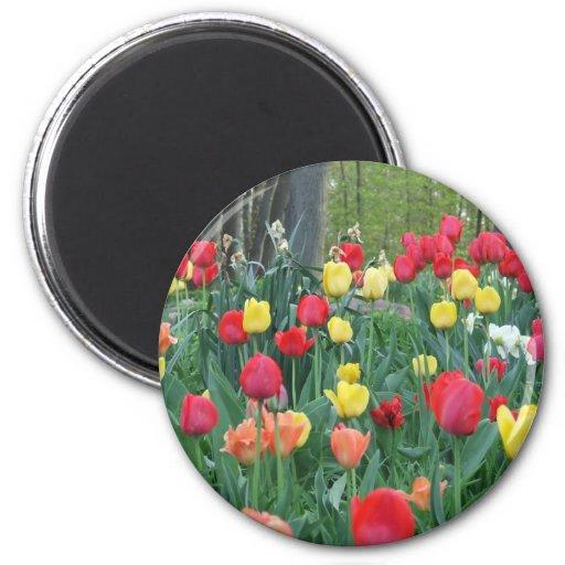 Tulipanes rojos, primavera amarilla, anaranjada, f iman para frigorífico