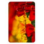 Tulipanes rojos y amarillos imanes