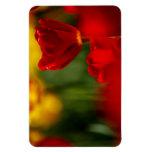 Tulipanes rojos y amarillos imanes de vinilo