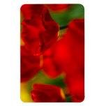 Tulipanes rojos y amarillos imanes rectangulares