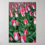 Tulipanes rojos y blancos posters