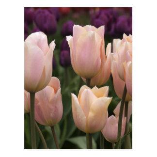 Tulipanes rosados de Jodi Tripp Tarjeta Postal