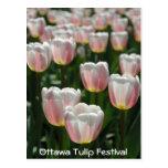 Tulipanes rosados de plata tarjetas postales