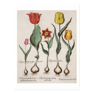 Tulipanes: rubens de los maculis del lutea 1.Tulip Tarjetas Postales